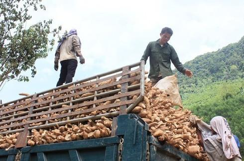 Xuất khẩu sắn cạnh tranh khốc liệt với Thái Lan, Lào, Campuchia - 1