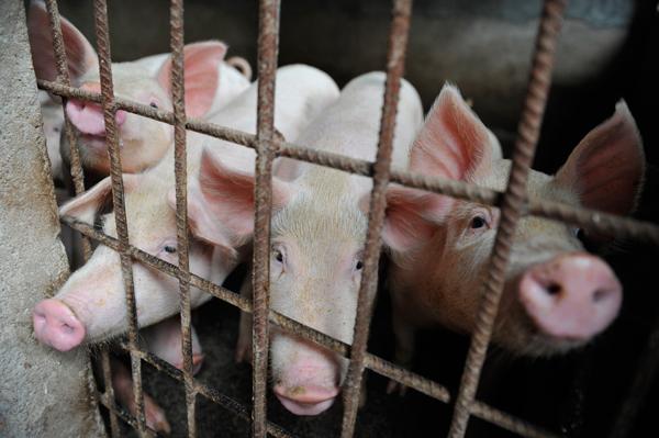 Giá lợn hơi cán mốc 70.000 đồng/kg, VN có thể thiếu 500.000 tấn thịt dịp Tết - 1