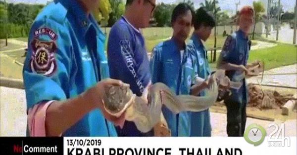Video: Tóm gọn hổ mang chúa khổng lồ dài 4 mét trốn dưới cống ở Thái Lan
