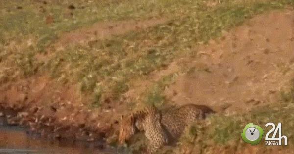 Video: Báo hoa mai cướp bữa trưa của cá sấu, bị chống trả quyết liệt