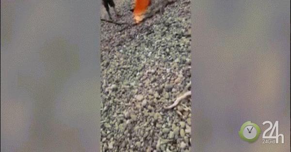 Video: Liều lĩnh dùng khăn bắt cá sấu nước mặn