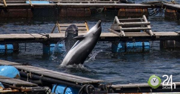 Cá heo Nhật Bản bị bắt hàng loạt để người Trung Quốc mua vui-Thế giới