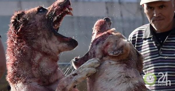 Chó khổng lồ kịch chiến nhuộm đỏ máu trong đấu trường ở Kyrgyzstan-Thế giới