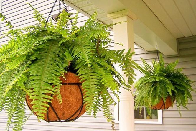Trồng những loại cây này trong nhà, vừa khỏe mạnh vừa dồi dào tài lộc - 1
