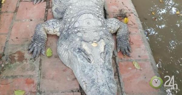 """""""Cá sấu chúa"""" nặng hơn 400kg xác lập kỷ lục cá sấu """"khủng"""" nhất Việt Nam - Tin tức 24h"""