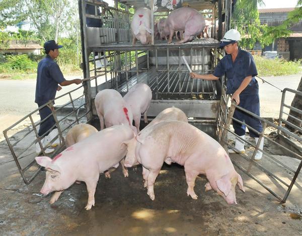 """Giá lợn hơi liên tiếp phá đỉnh, thương lái """"mỏi mắt"""" tìm mua - 1"""