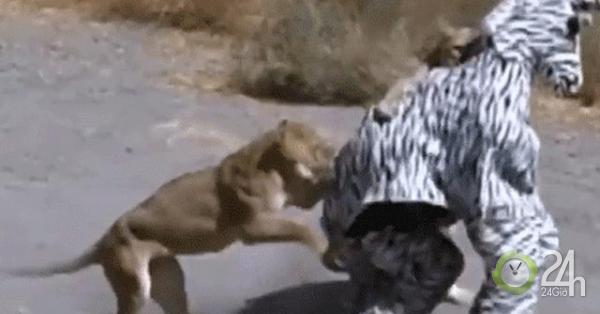 Giả làm ngựa vằn, 2 thanh niên số nhọ bị sư tử tấn công