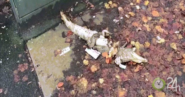 Video: Cá sấu sổng chuồng, hôm sau thấy xác bị chặt làm đôi