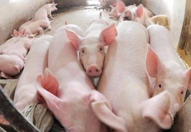 Giá thịt lợn phá đỉnh ngày cuối tuần - 1