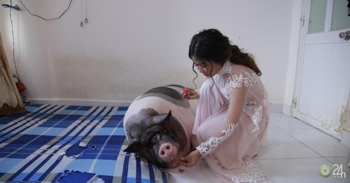 Trước khi về nhà chồng, cô dâu chăm chú heo nặng 160kg trong phòng