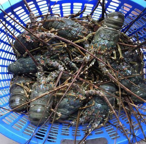 Tôm hùm nhập tăng giá vù vù, tôm hùm Việt bán ra với mức giá thấp - 3
