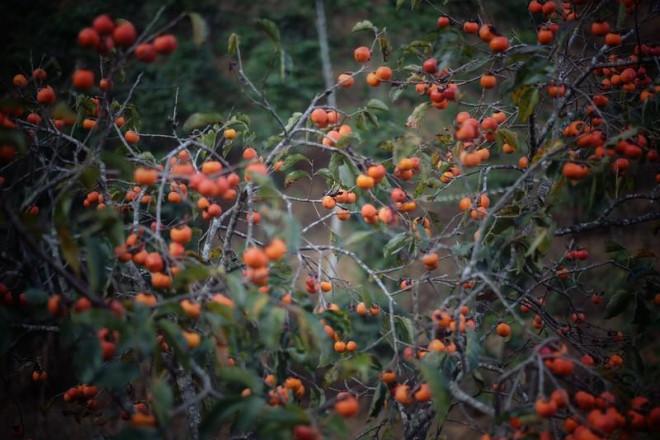 Ngất ngây với mùa lá đỏ ở Đà Lạt - 2