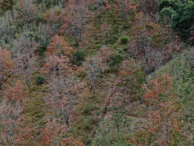 Ngất ngây với mùa lá đỏ ở Đà Lạt - 3