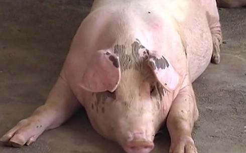 """Thịt lợn khan hiếm, giá tăng vọt, người dân xu hướng nuôi lợn """"siêu to"""" - 1"""