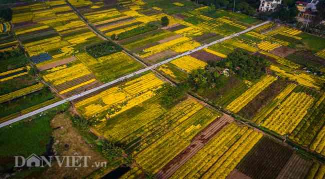 """Ngắm cánh đồng cúc """"tiến vua"""" vàng rực ở Hưng Yên dịp giáp Tết - 1"""