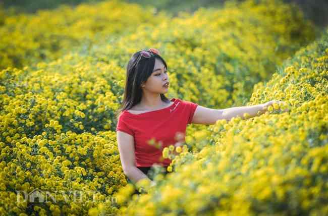 Hoa cúc tiến vua