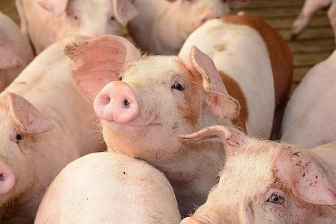 Giá lợn hơi Hà Nội sẽ trở lại mức 50-60.000 đồng/kg? - 1