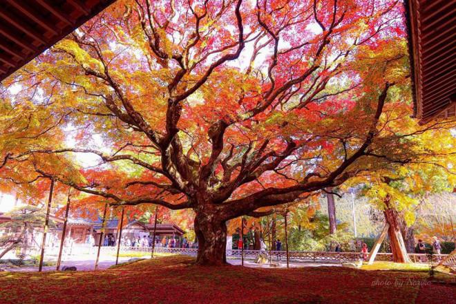 Chiêm ngưỡng cây phong 400 tuổi ở Nhật Bản - 1