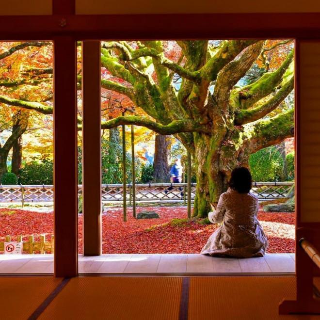 Chiêm ngưỡng cây phong 400 tuổi ở Nhật Bản - 2