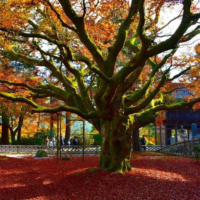 Chiêm ngưỡng cây phong 400 tuổi ở Nhật Bản - 5