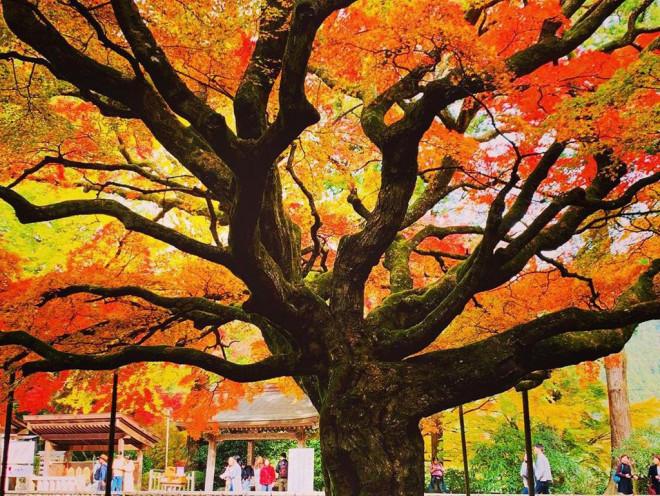 Chiêm ngưỡng cây phong 400 tuổi ở Nhật Bản - 7