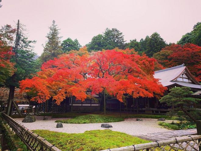 Chiêm ngưỡng cây phong 400 tuổi ở Nhật Bản - 8