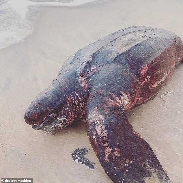 Úc: Bất thường rùa nặng nửa tấn, dài hơn người trưởng thành, chết ở bờ biển