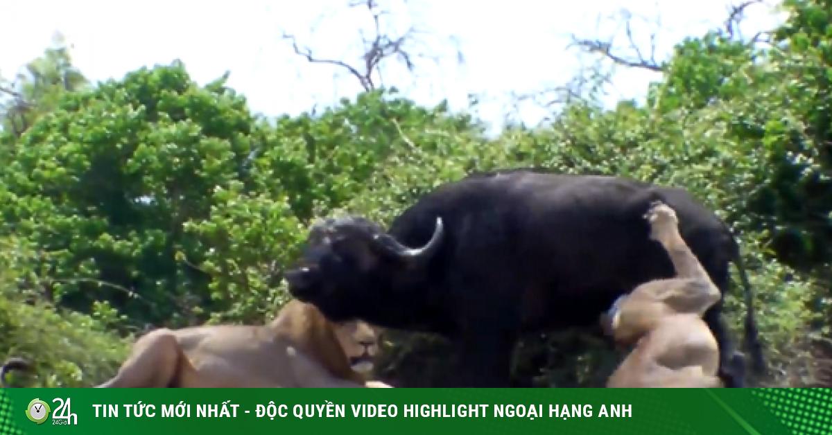 Video: Rơi vào thế gọng kìm của sư tử, trâu rừng quyết tử chiến với chúa tể đồng cỏ