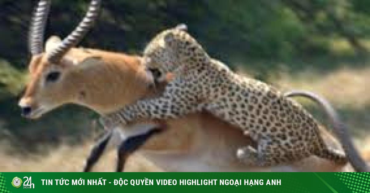 Video: Đang cắn chặt vào cổ linh dương, báo đốm bị đồng loại của con mồi húc tung ngực