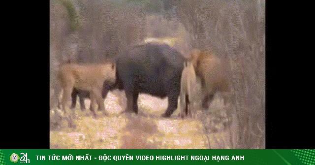 Video: Bị đàn sư tử háu đói lao vào cắn xé, 2 mẹ con hà mã bất ngờ đứng im nhận án tử
