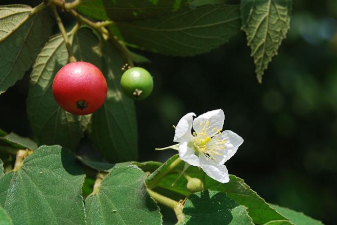 Loại quả rụng đầy gốc không ai thèm hái lại là vị thuốc quý, được ví như nhân sâm - 1