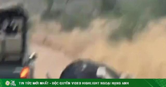 Video: Bị 3 con sư tử cắn xé hung hãn, trâu rừng tự giải nguy theo cách kỳ lạ