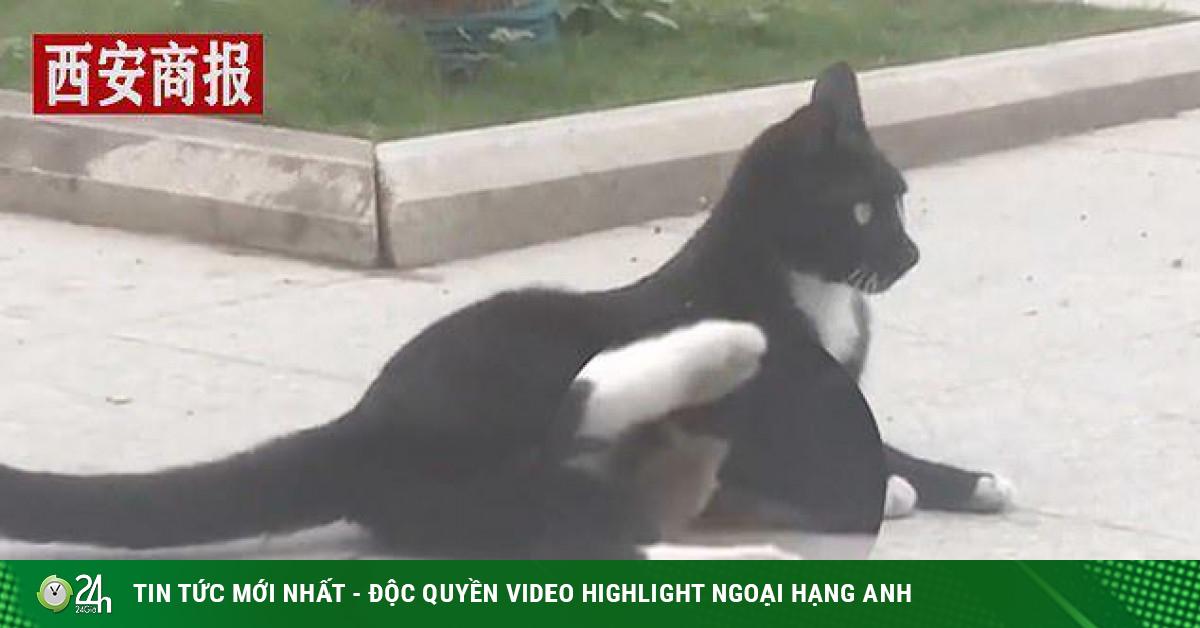 Video: Chuột nhỏ nấp dưới bụng mèo, đòi được ôm ấp