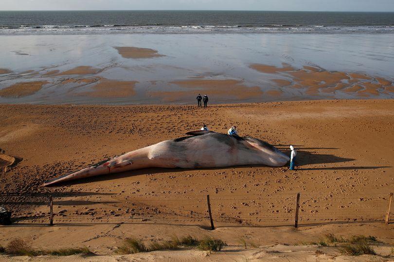Xác cá voi khổng lồ dài 16m, nặng 10 tấn trôi dạt bờ biển Pháp - hình ảnh 1