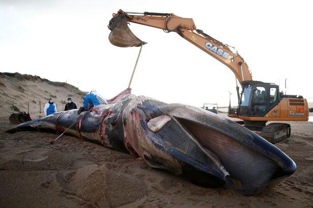 Xác cá voi khổng lồ dài 16m, nặng 10 tấn trôi dạt bờ biển Pháp - hình ảnh 2