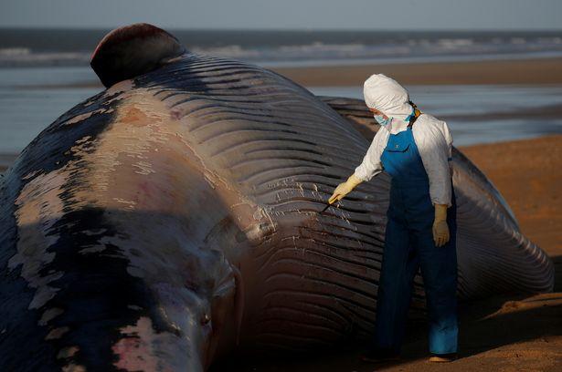 Xác cá voi khổng lồ dài 16m, nặng 10 tấn trôi dạt bờ biển Pháp - hình ảnh 3