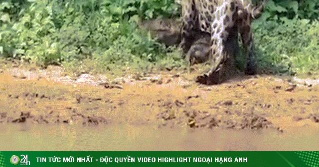 Video: Khoảnh khắc báo đốm tóm gọn cá sấu, cắn ngập răng vào cổ