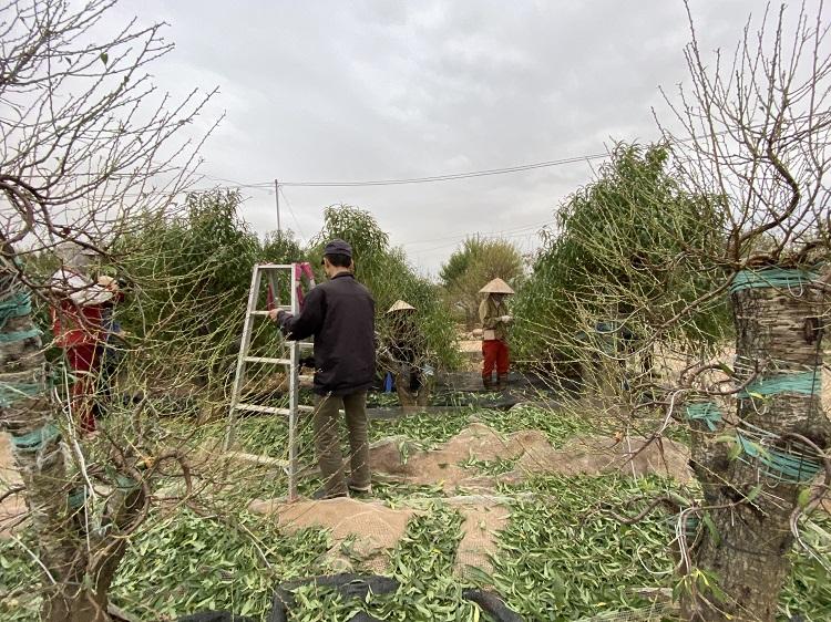 Nông dân trồng đào Nhật Tân chi tiền triệu thuê người tuốt lá đào, tất bật chuẩn bị vụ Tết - 1