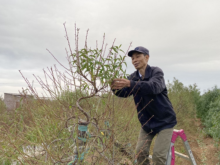 Nông dân trồng đào Nhật Tân chi tiền triệu thuê người tuốt lá đào, tất bật chuẩn bị vụ Tết - 3