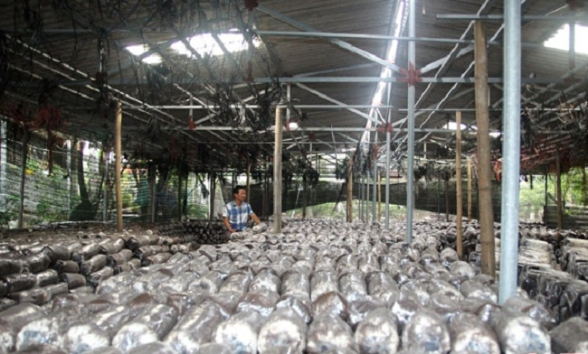 Lão nông Hà Tĩnh thu nhập hơn 300 triệu/năm nhờ trồng loại cây bổ dưỡng này - 5