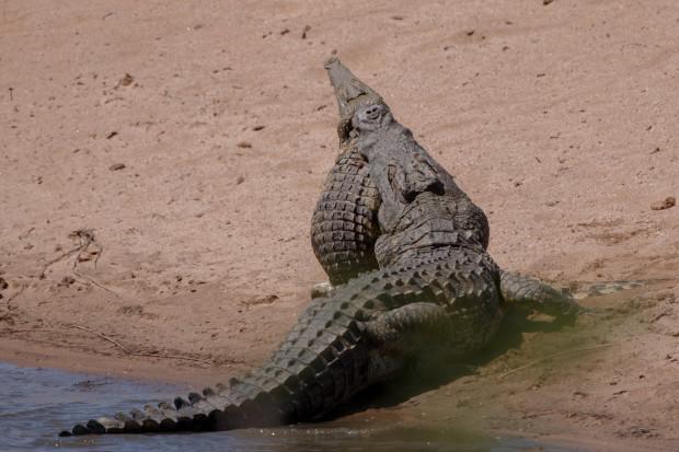 Ngỡ ngàng cảnh cá sấu khổng lồ nặng nửa tấn làm thịt đồng loại - 3