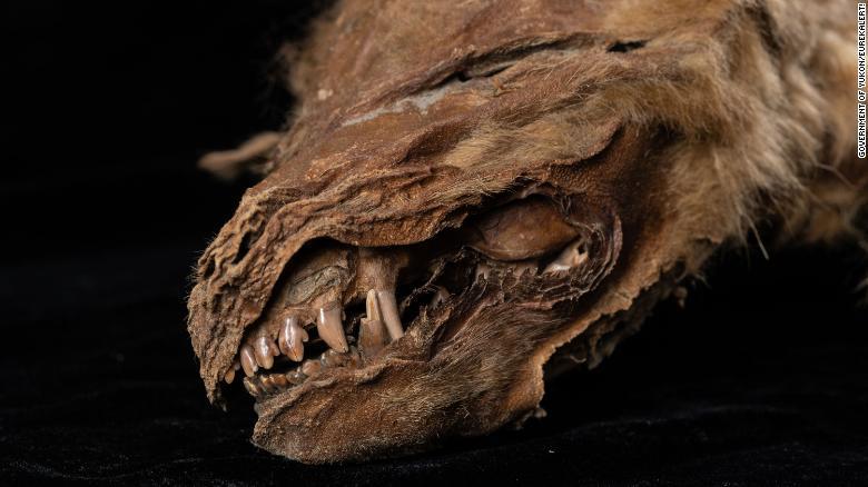 Phát hiện xác ướp chó sói đóng băng 56.000 năm, nguyên vẹn nhất từ trước đến nay