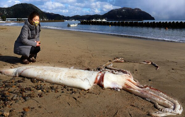 Mực khổng lồ dài 3m trôi dạt bờ biển Nhật Bản - 1