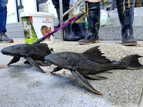 Loài cá dọn bể Amazon đang gây họa ở Đài Loan